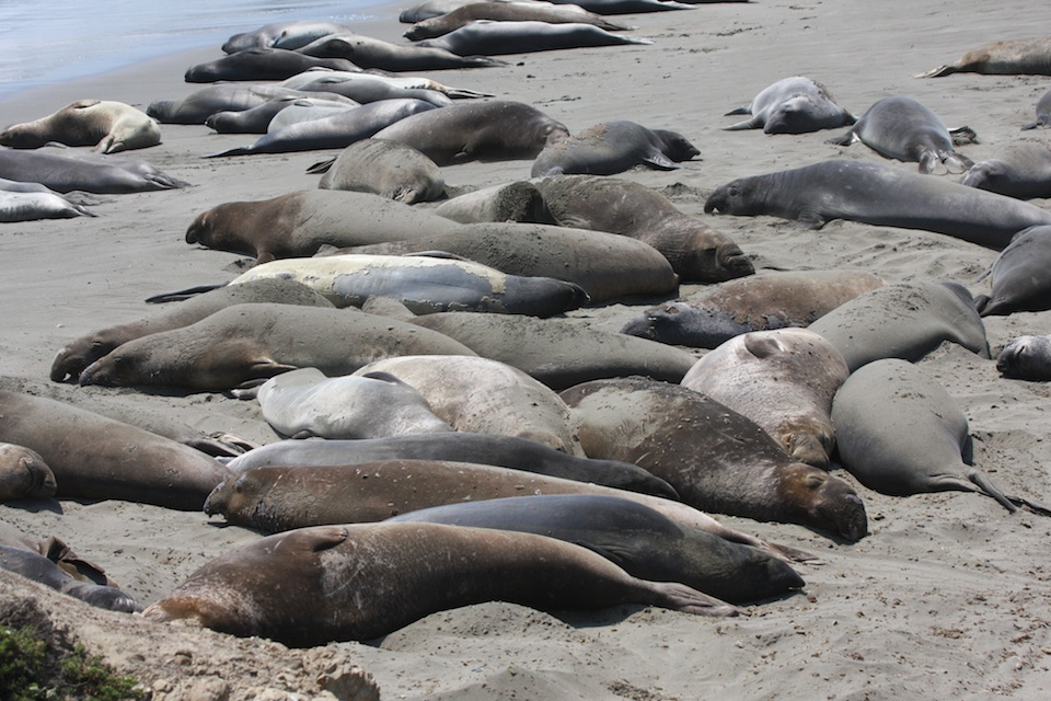 Sea Lions And Elephant Seals In California Molting